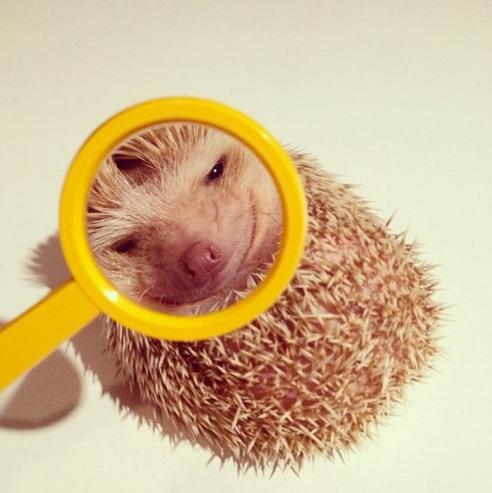 Will Beauty Save The Hedgehogs Bastart - Darcy cutest hedgehog ever