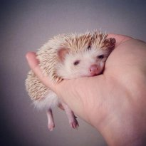 Darcy the Flying Hedgehog. Photo credit Shota Tsukamoto.