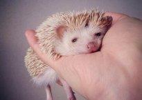 Darcy the Flying Hedgehog. Photo credit Shota Tsukamoto.